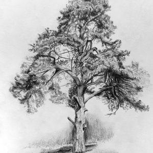 Schottischer Nadelbaum