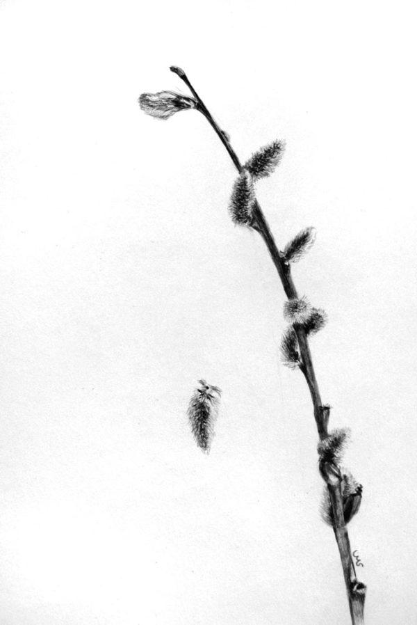 Weidenkätzchen